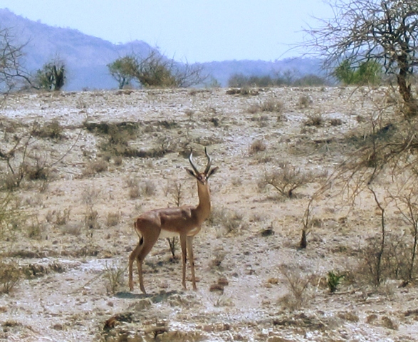 a gerenuk ( a brown antelope with long neck and legs ) is viewed from the side as it looks curiously at the camera