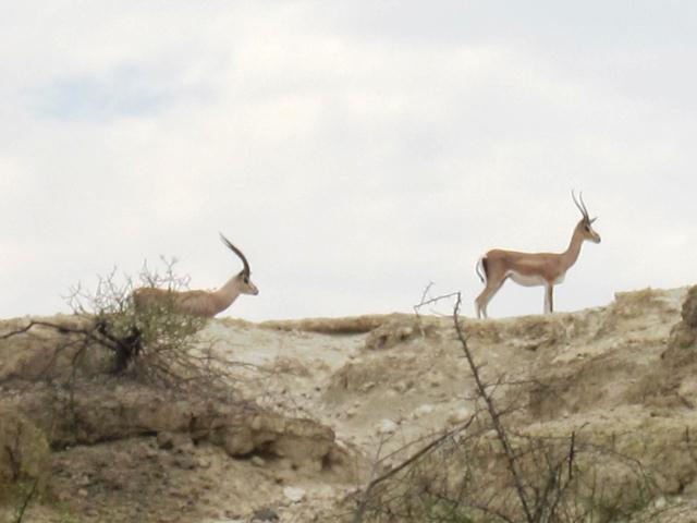 two light brown and tan antelope with horns stand on top of a ridge looking left