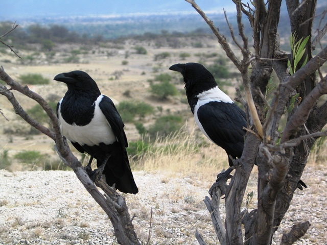 Two pied crows (a large black bird with white chest) sit in the shade on the lower bare branches of a bush on the edge of camp cliff