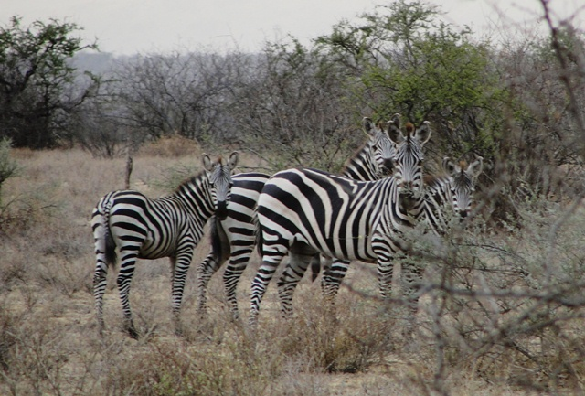 Two adult and two juvenile common zebras stand close together in the yellow grass near thick bushes