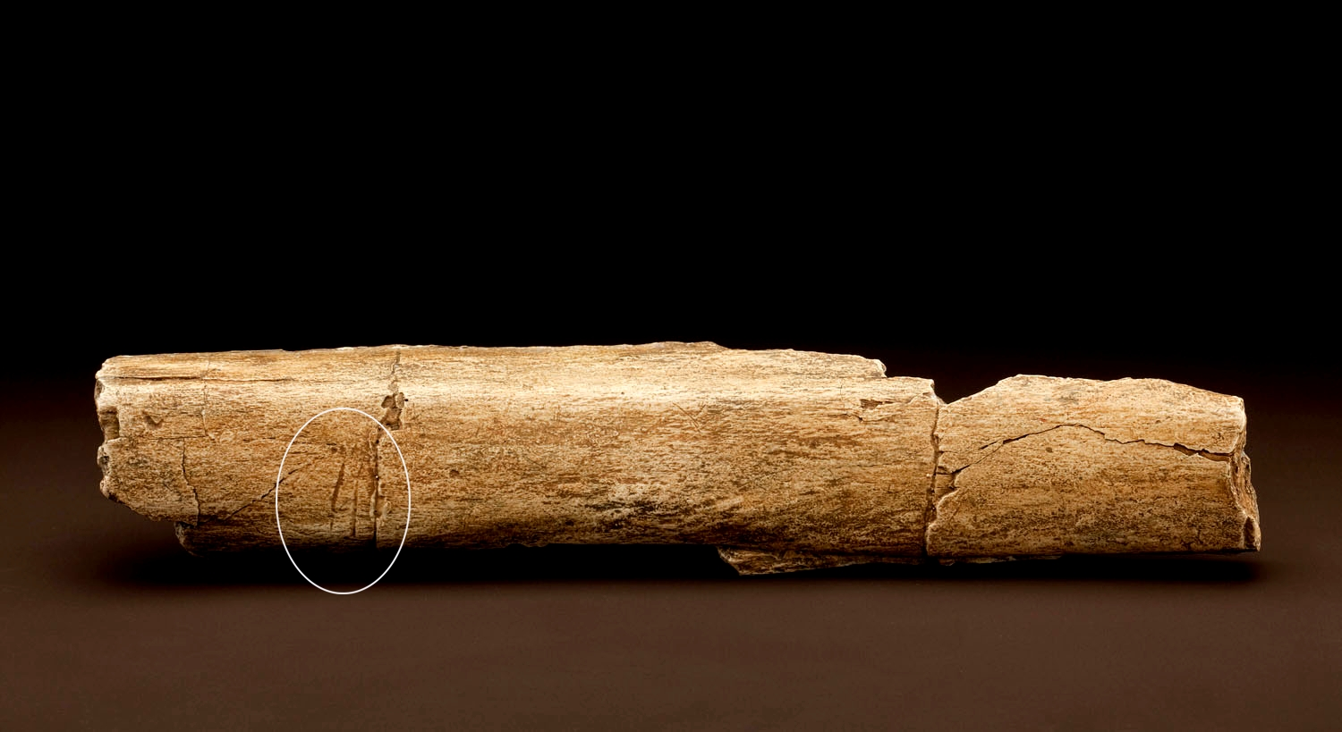 Elephas recki fossil rib with cut marks. Image courtesy of Chip Clark, Smithsonian Institution.