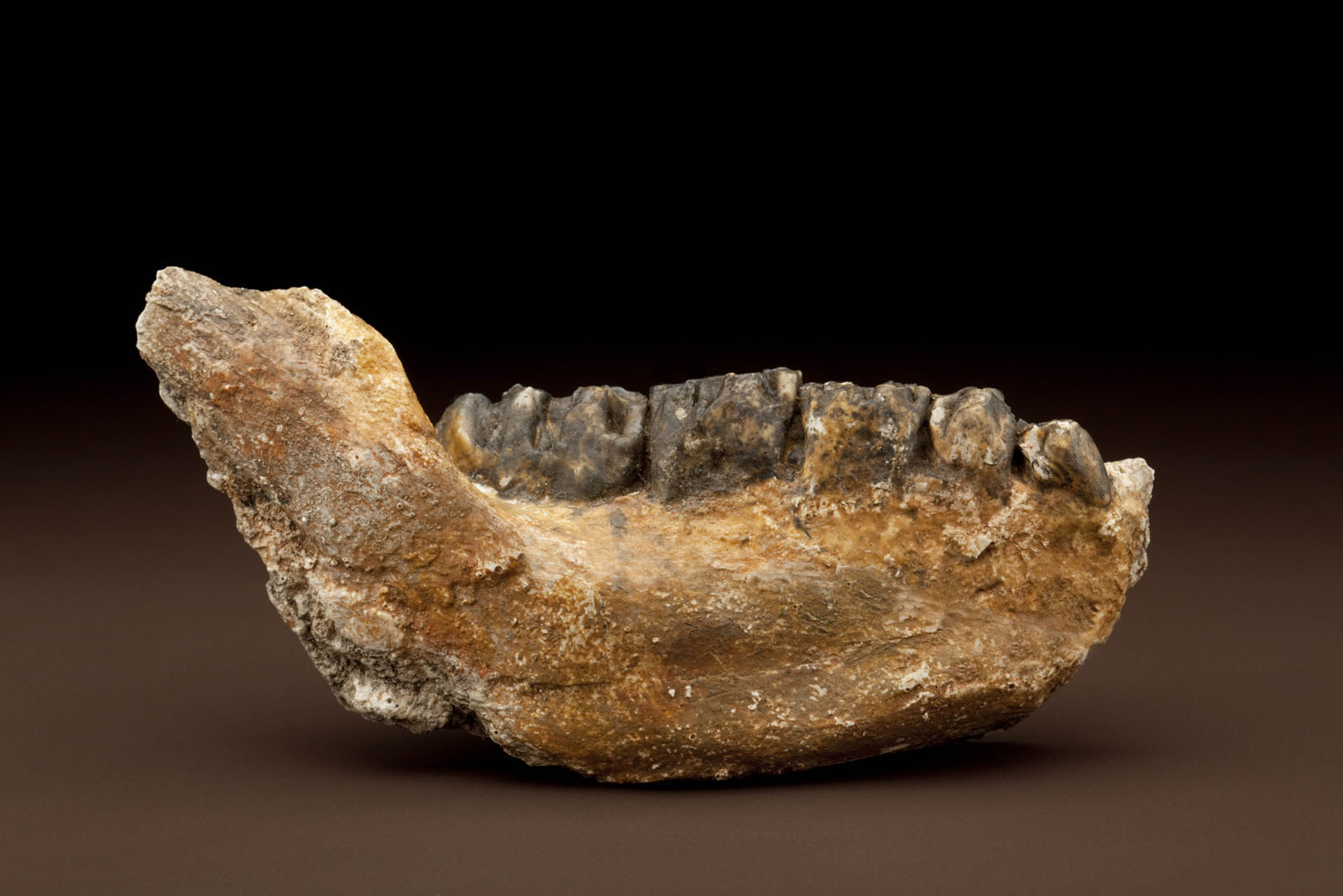Theropithecus oswaldi mandible from Olorgesailie. Image courtesy of Chip Clark, Smithsonian Institution.