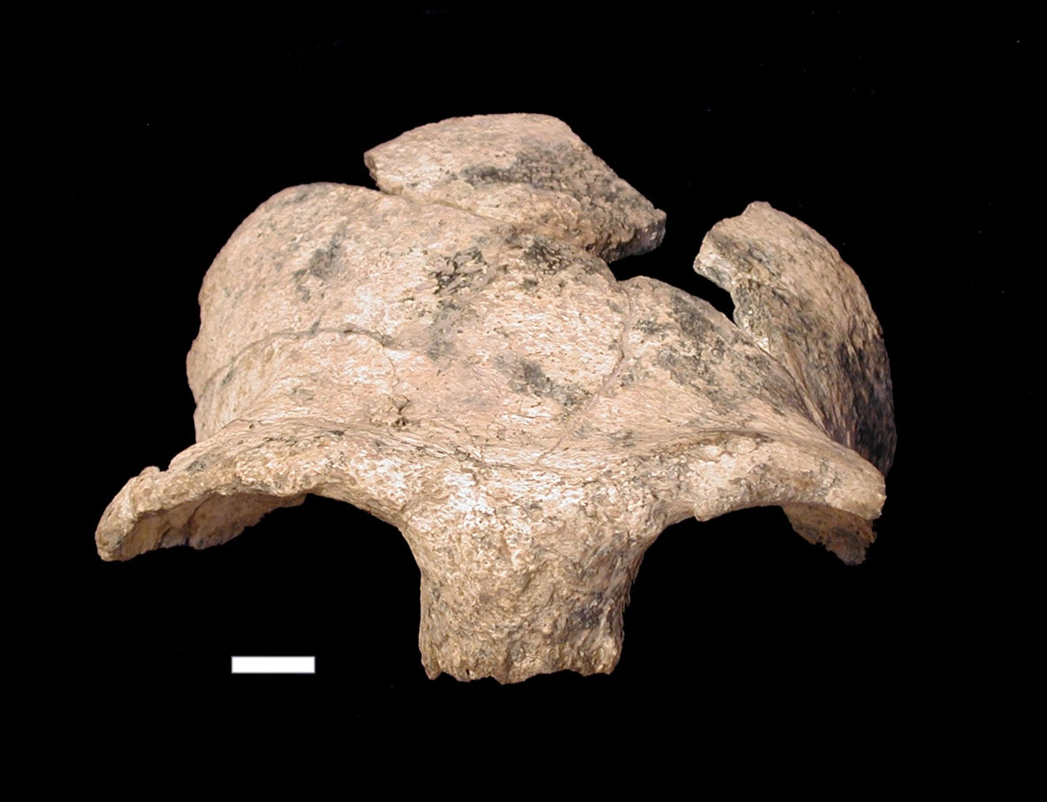 The frontal bone, including the brow ridge, of the hominin skull from Olorgesailie (KNM-OG 45500). Image courtesy of Jennifer Clark and Richard Potts, Smithsonian Institution.