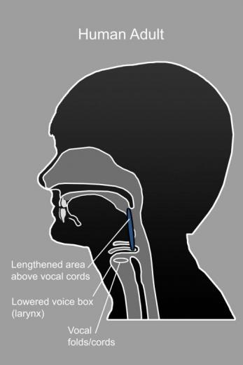 Spoken language became possible when the voice box dropped lower in the throat. Image courtesy of Karen Carr Studio.