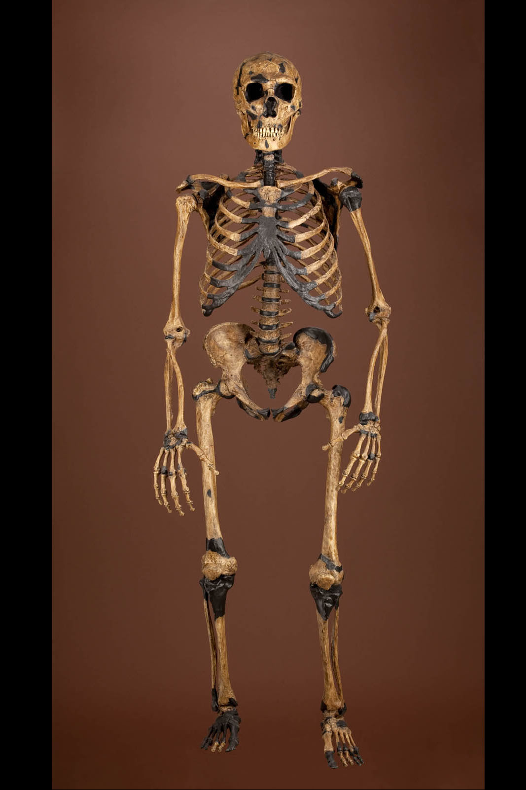 Composite Neanderthal Skeleton