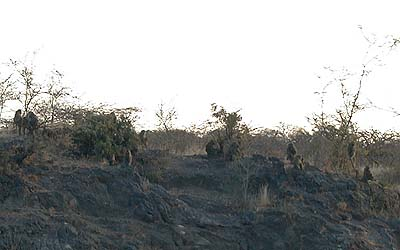 The olive baboons of Olorgesailie.