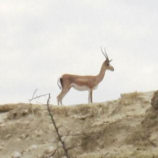 a light brown and tan antelope with horns stands on top of a ridge looking left