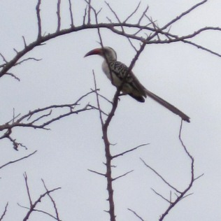a Jackson's hornbill ( large black and white bird with a large red-orange bill) sits on a bare branch atop a tree