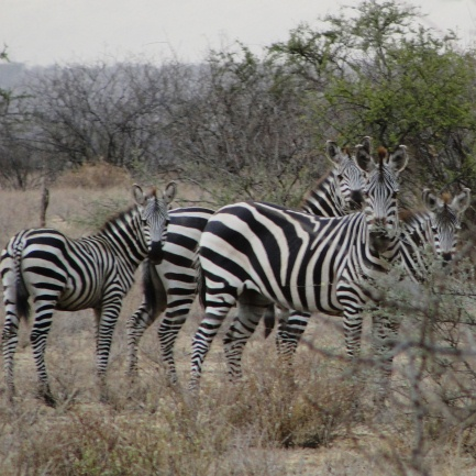 Two adult and two juvenile common zebras stand close together in the yellow grass near thick bushes.