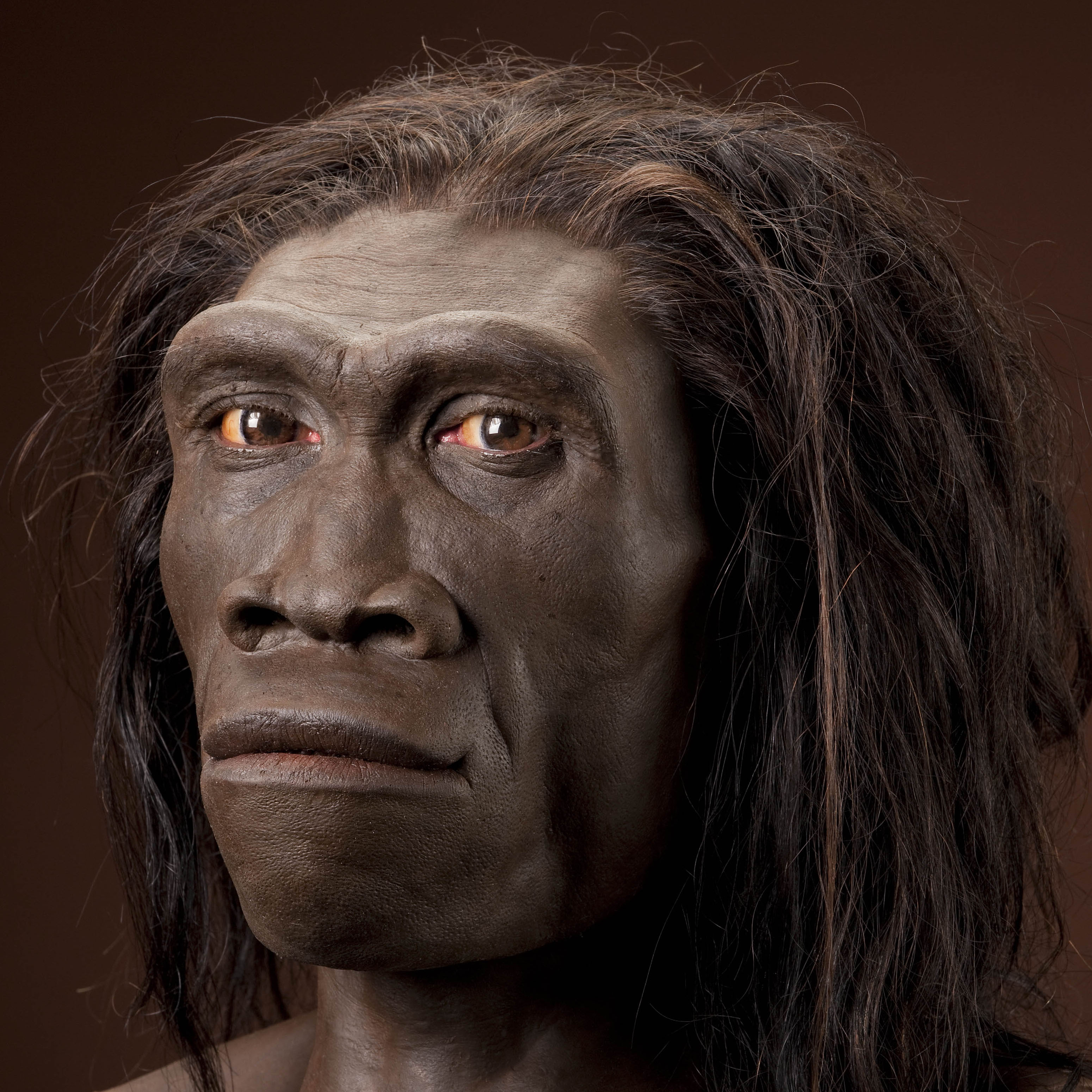 Imagenes De Bose >> Homo erectus, female. Reconstruction based on ER 3733 by John Gurche, 3/4 view, right. | The ...
