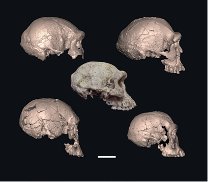 image of 5 skulls from Dmanisi