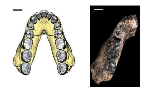 jaws of Homo habilis